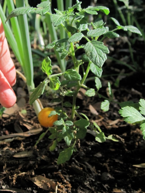 Blog.tomato